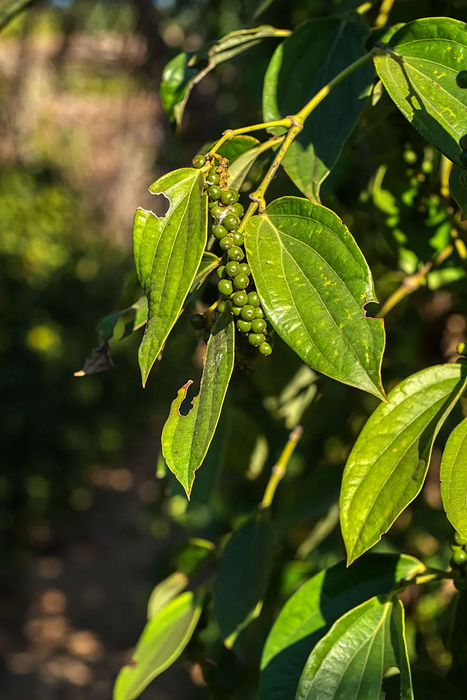 Certified Kampot pepper is grown organically, plus a bite here and there makes the plant stronger.
