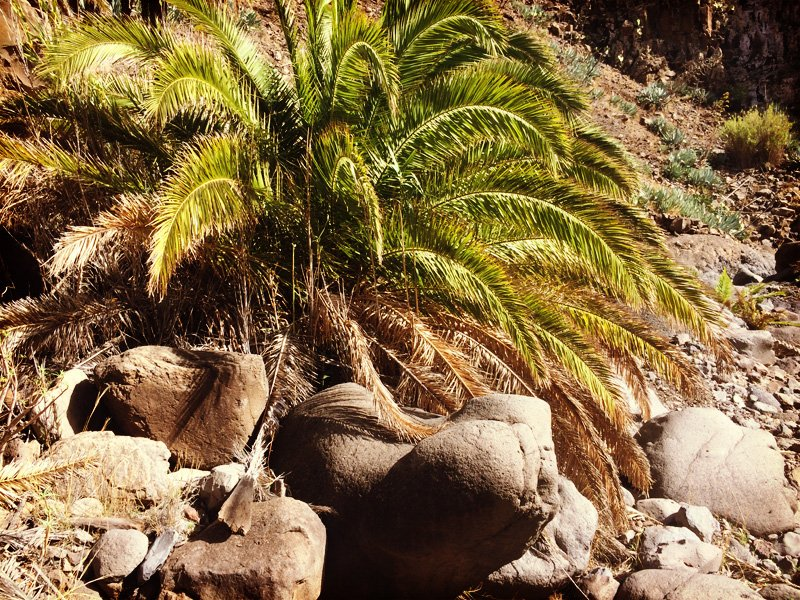 This palm managed to grow inspite all odds. Canyon in Valle Gran Rey, La Gomera