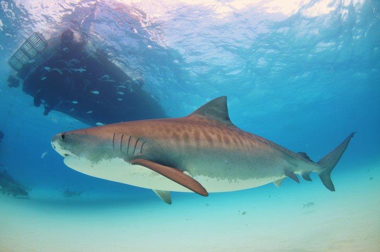 A tiger shark