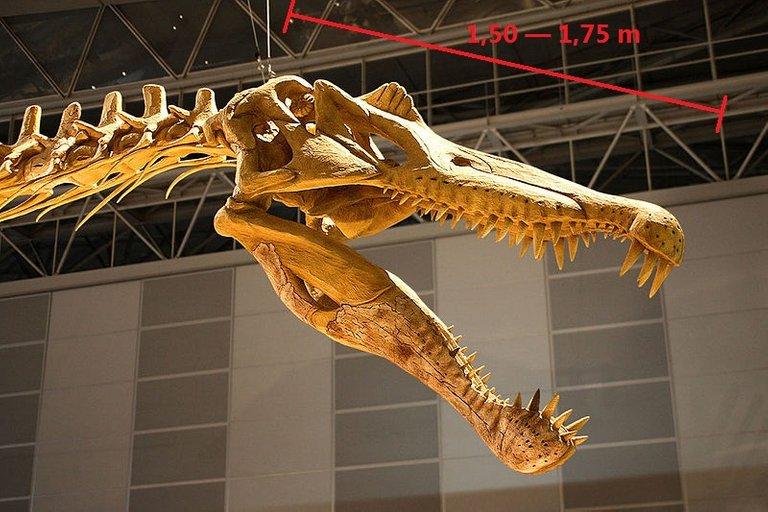 800px-Spinosaurus_skull.jpg
