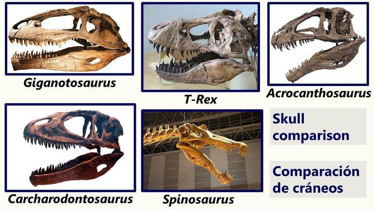 Comparación cráneos dinosaurios carnívoros - Comparison of carnivorous dinosaur skulls.jpg