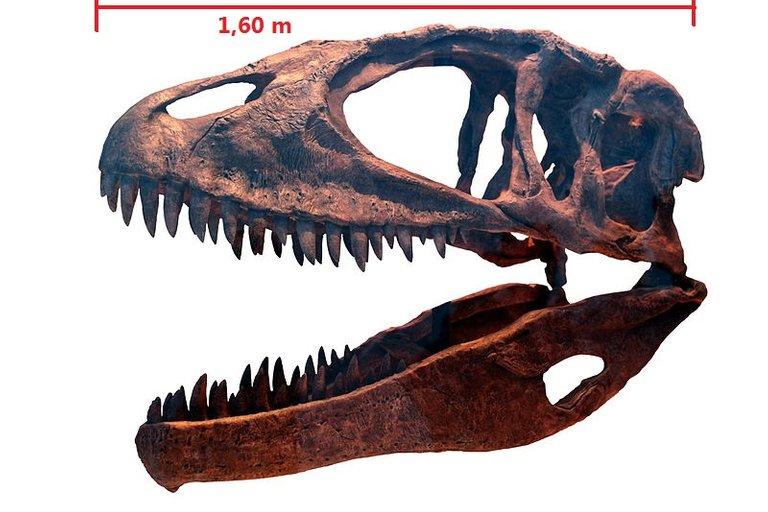 800px-Carcharodontosaurus_ROM-IMG_7497.jpg
