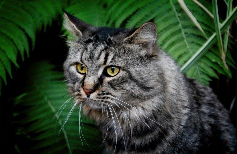 ptsd support cat Maine Coon Trauma.jpg