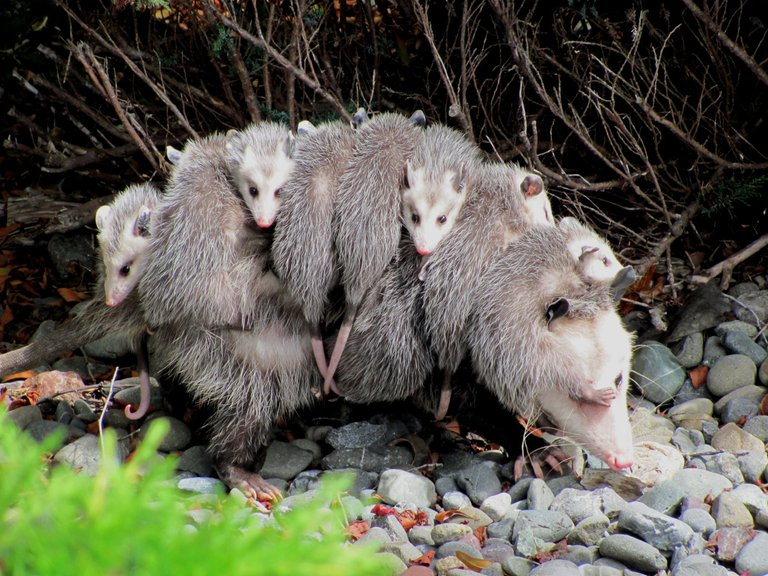 virginia opossum with young credit Specialjake 3.0.JPG