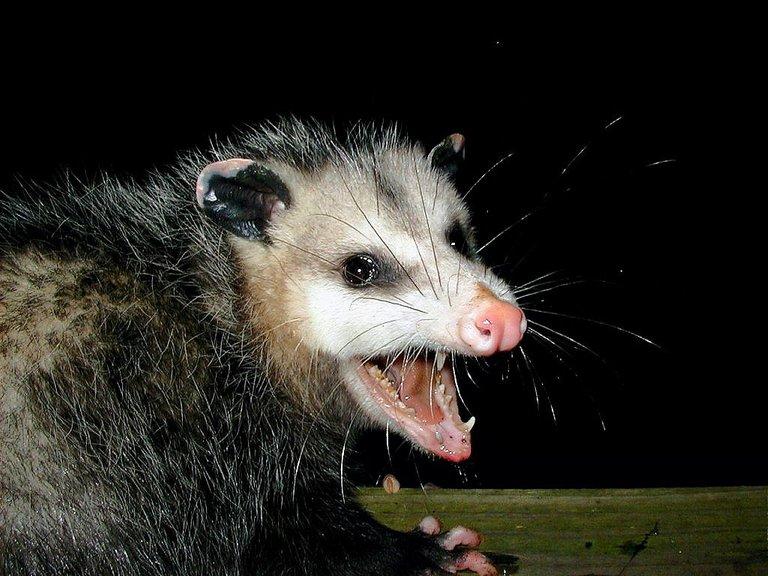 opossum teeth AwesomePossum-AmericanOpossum User PiccoloNamek on en.wikipedia 3.0.jpg