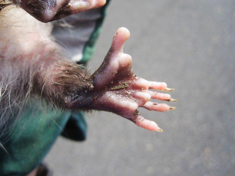 Virginia opossum opposable thumb Tony Alter 4.0.jpg
