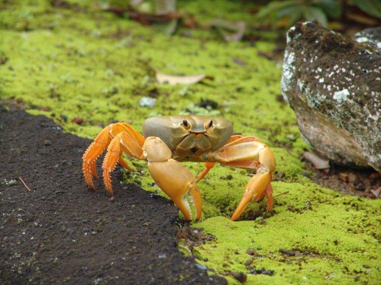Johngarthia lagostoma yellow credit Drew Avery 2.0.jpg