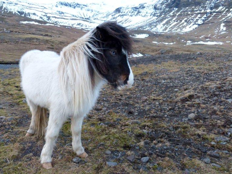 Icelandic Horse gailhampshire from Cradley, Malvern, U.K 2.0.jpg
