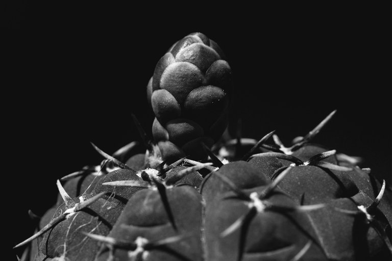 Gymnocalycium platygonum bw 4.jpg