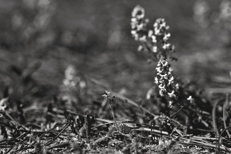 Sesamoides spathulifolia wildflower geranium bw.jpg
