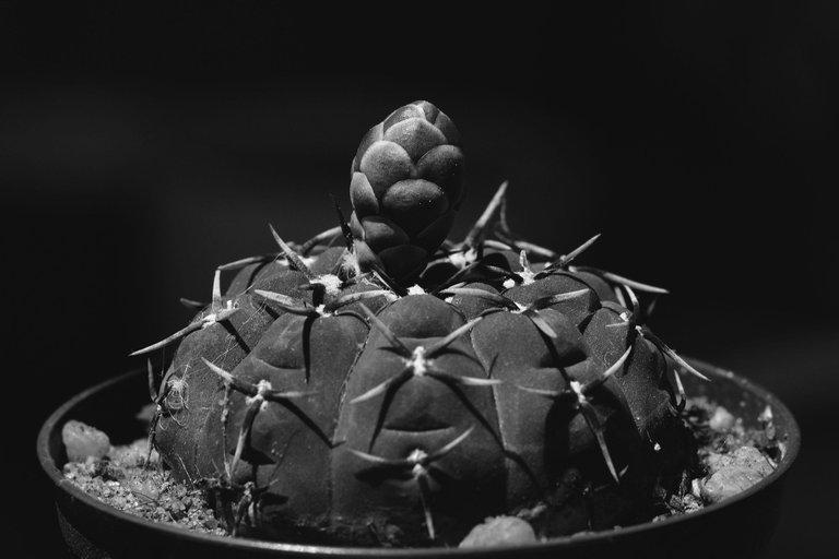Gymnocalycium platygonum bw 5.jpg