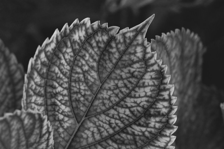 hydrangea bw 4.jpg