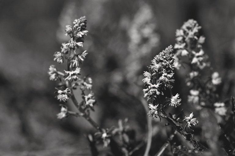 Sesamoides spathulifolia wildflower bw 4.jpg