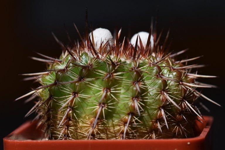 Notocactus mueller-melchersii buds 2021 1.jpg