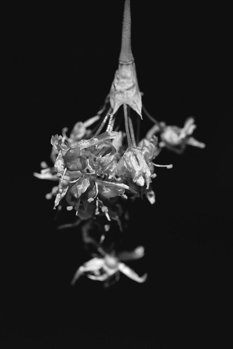 wild garlic flower 7.jpg
