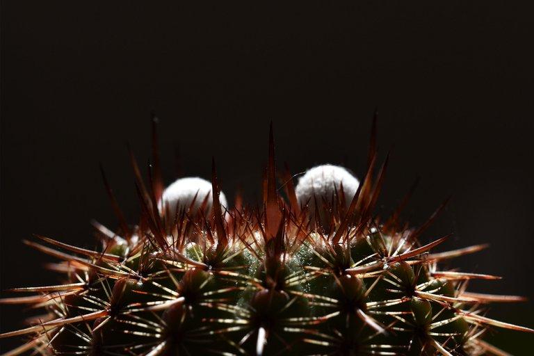 Notocactus mueller-melchersii buds 2021 6.jpg
