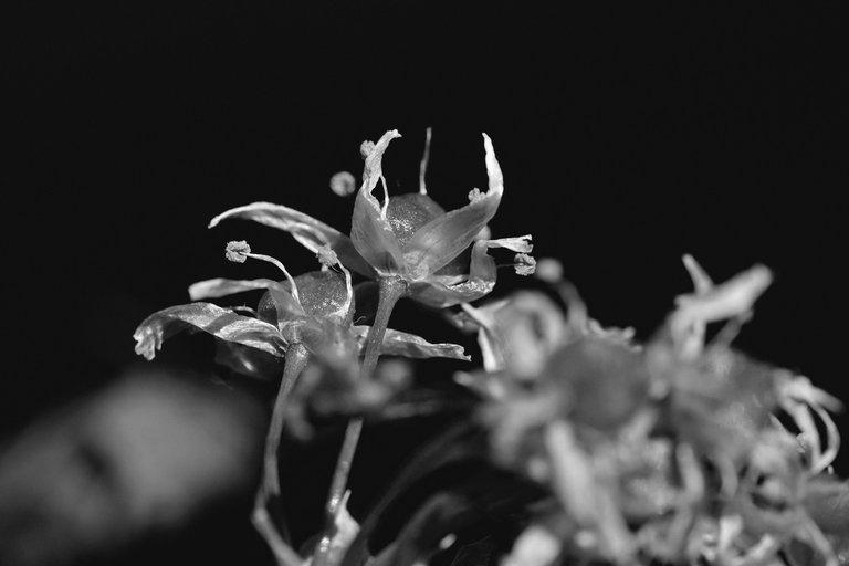 wild garlic flower 4.jpg