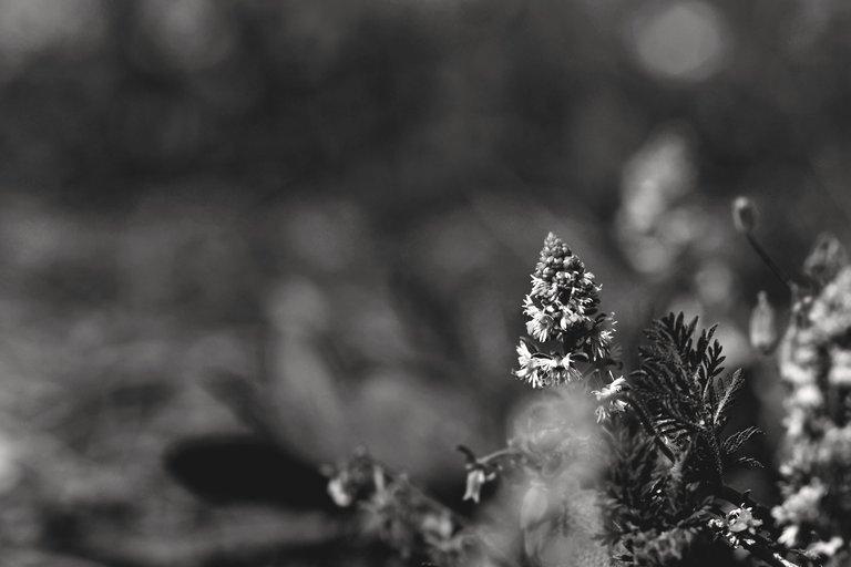 Sesamoides spathulifolia wildflower bw 5.jpg