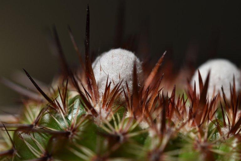 Notocactus mueller-melchersii buds 2021 2.jpg