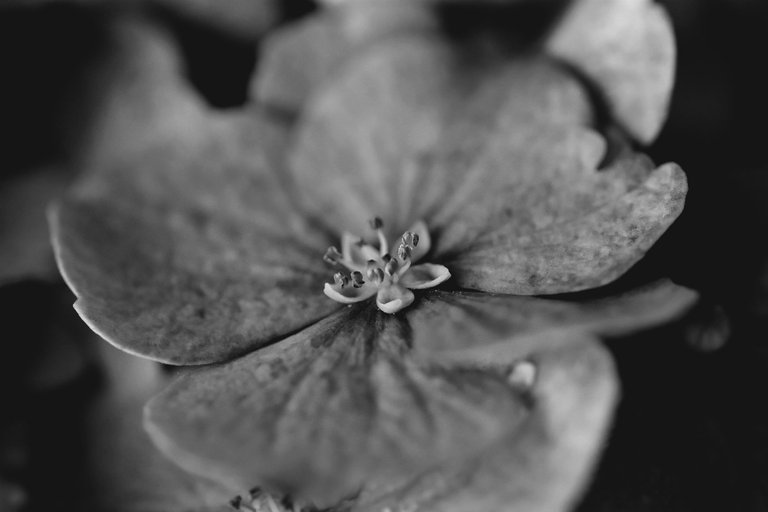 hydrangea bw 6.jpg