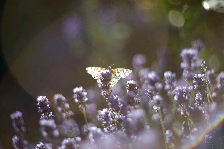 lavender butterflies garden helios 6.jpg