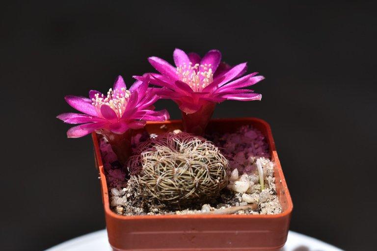 sulcorebutia albissima flower 2021 7.jpg