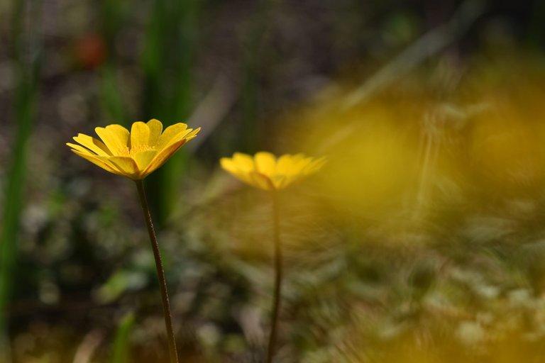 anemone palmata yellow 8.jpg