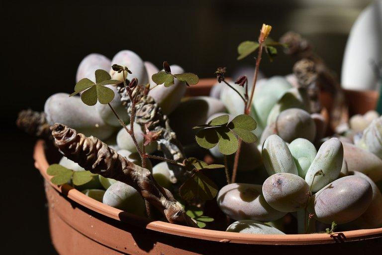 Pachyphytum Oviferum oxalis 2.jpg