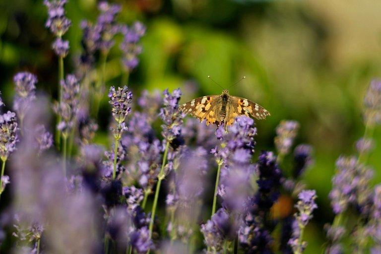 lavender butterflies garden helios 7.jpg