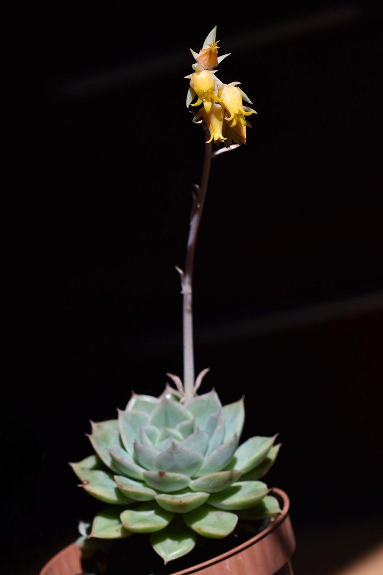 Echeveria yellow flowers 5.jpg