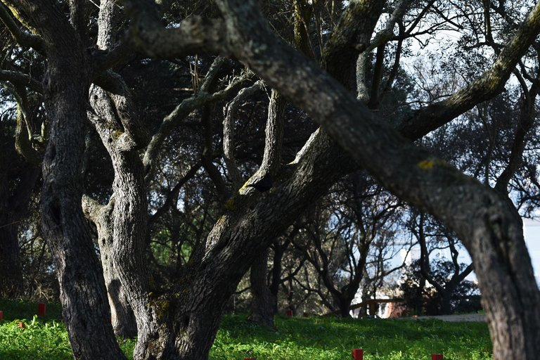 moss olive tree 4.jpg