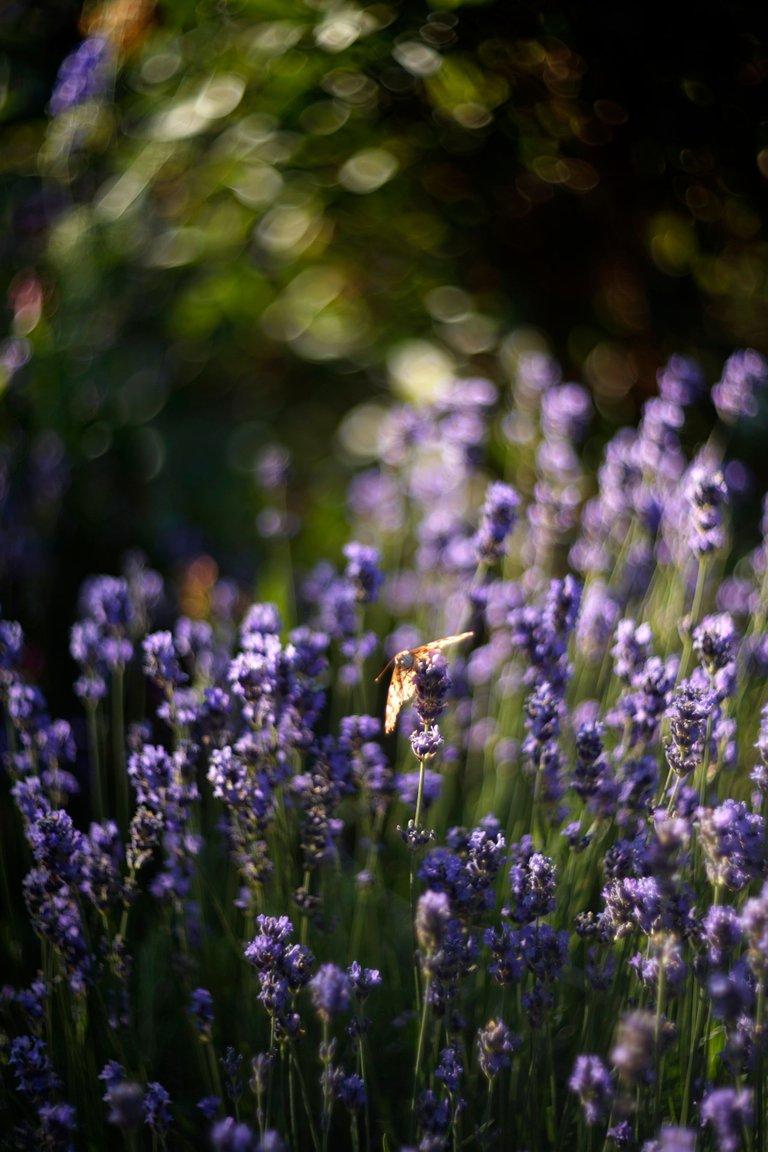 lavender butterflies garden helios 4.jpg