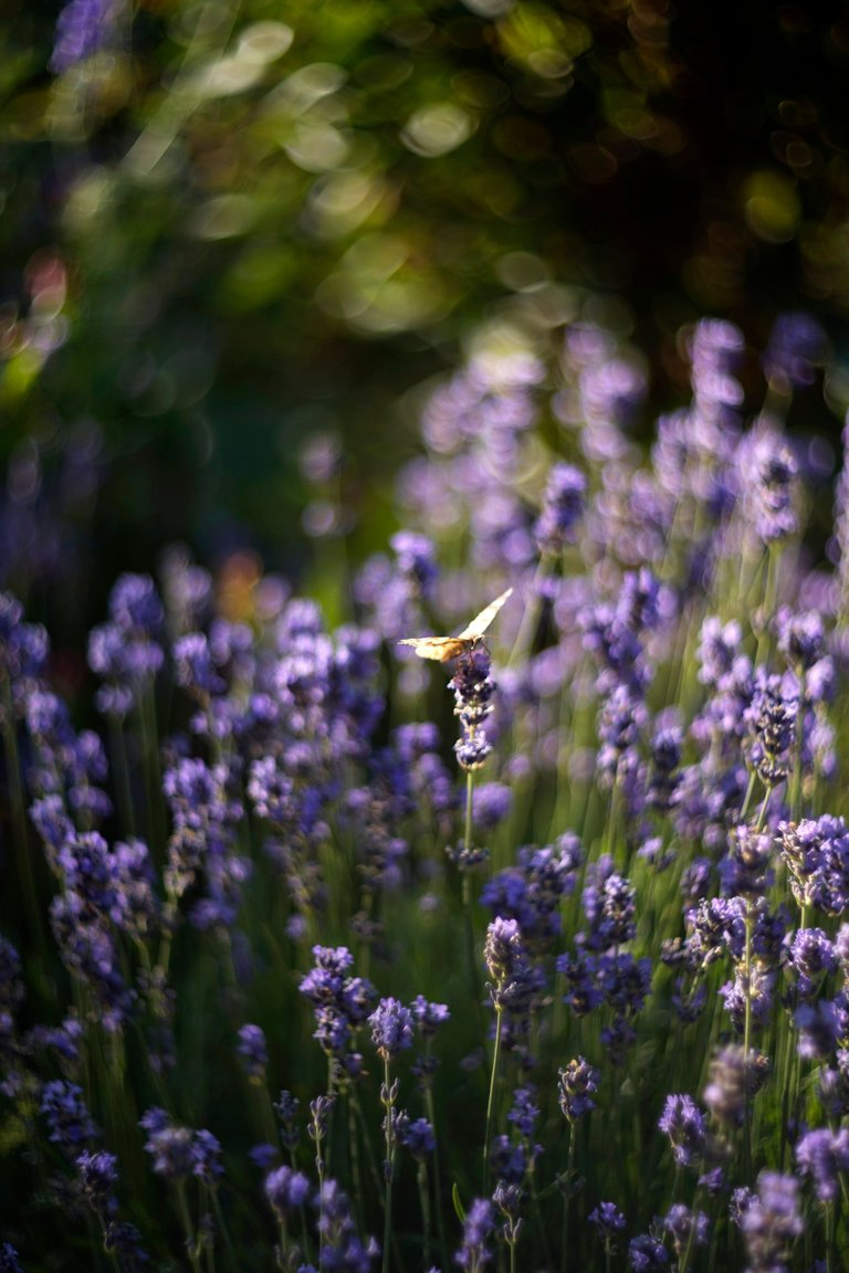 lavender butterflies garden helios 5.jpg