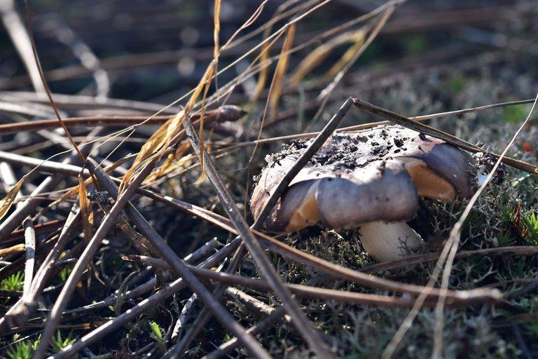 mushrooms pine needles 2.jpg