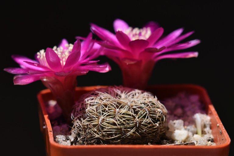 sulcorebutia albissima flower 2021 8.jpg