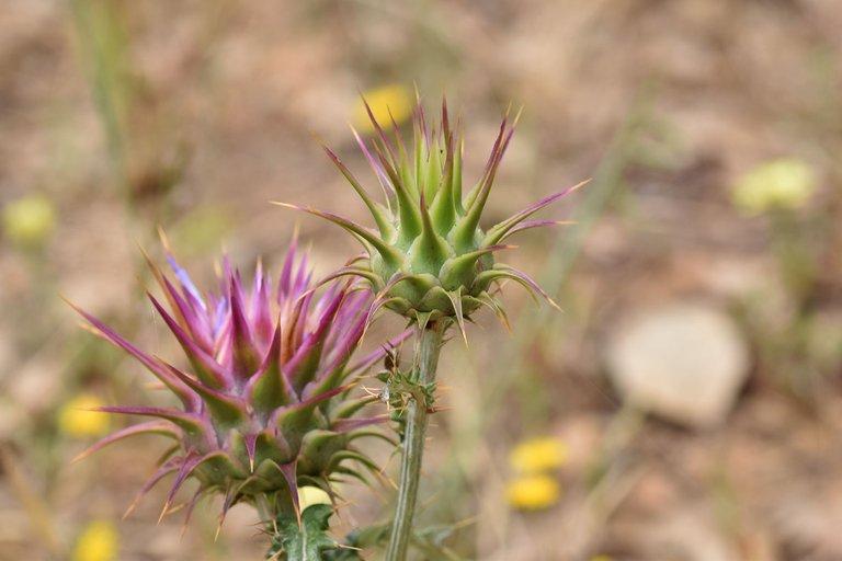 Onopordum illyricum thistle flower 5.jpg
