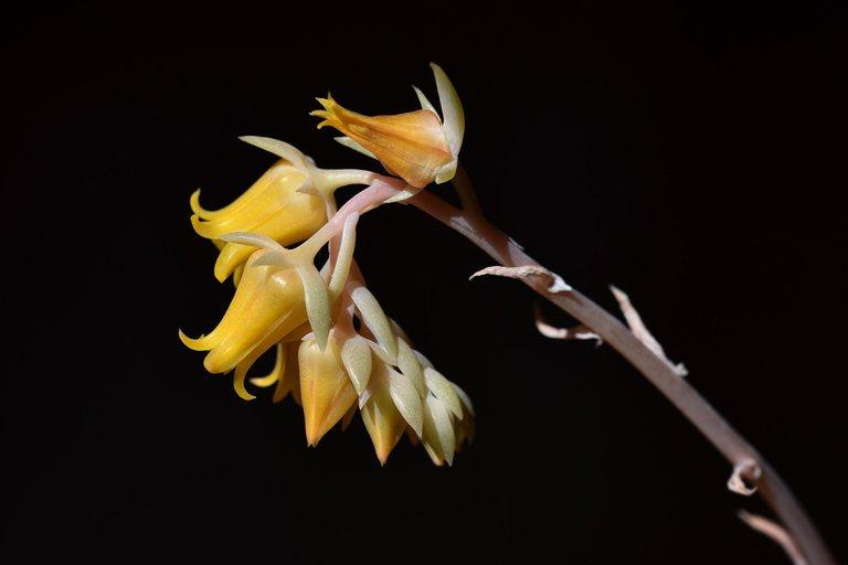 Echeveria yellow flowers 6.jpg