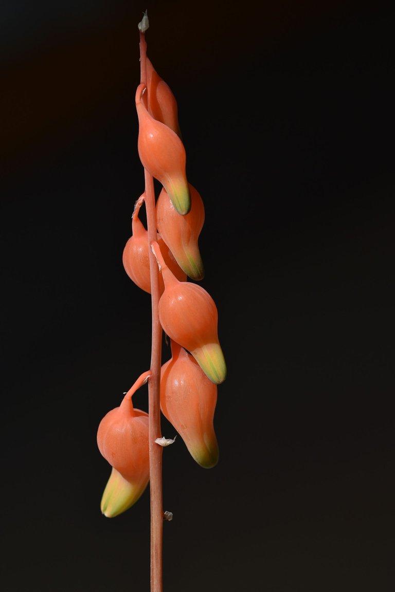 Gasteria glomerata flower 2.jpg