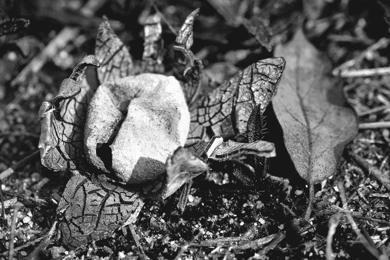 Astraeus star mushrooms bw 4.jpg