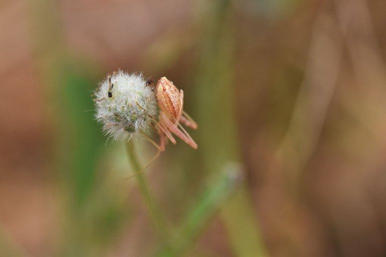 spider fluffy pod .jpg