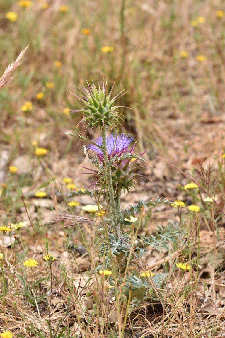Onopordum illyricum thistle flower 6.jpg