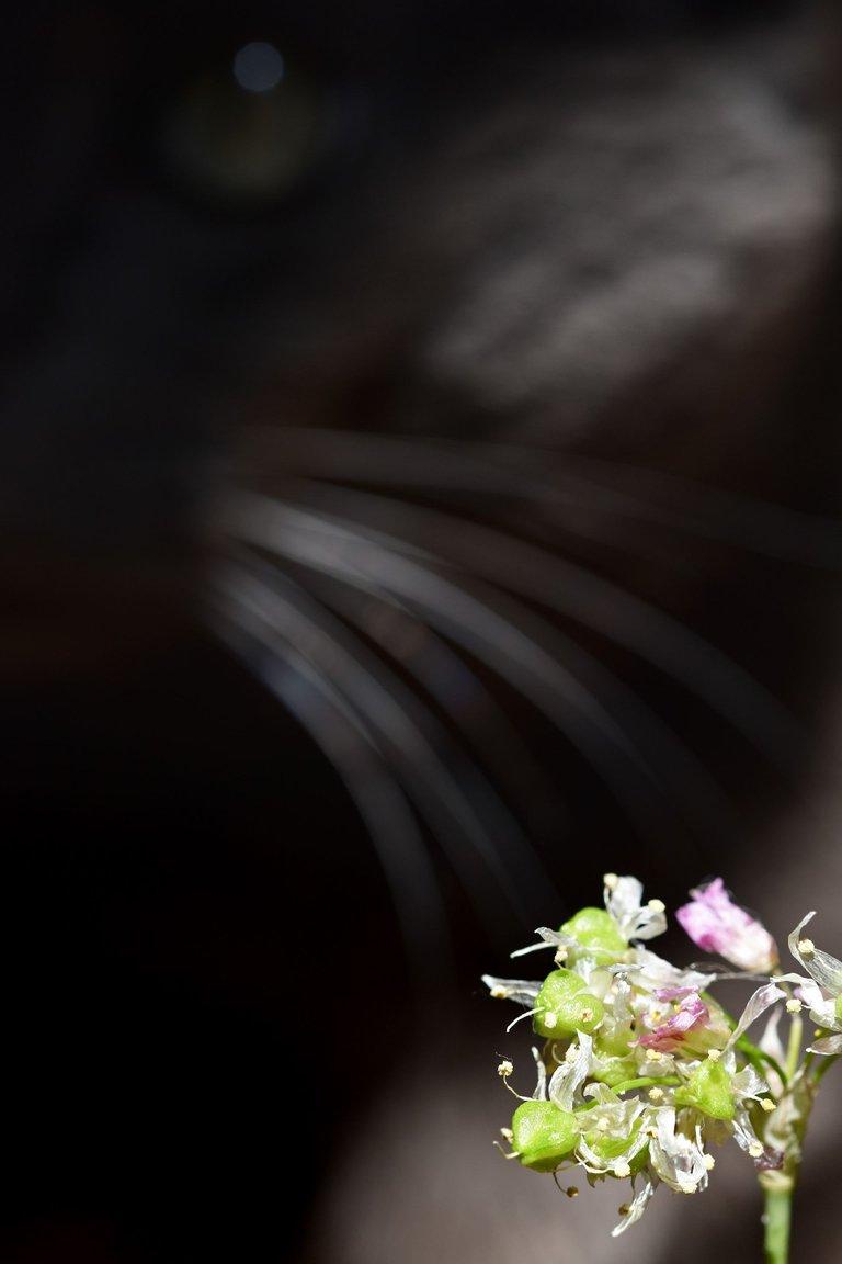 suzi paws garlic flower 4.jpg
