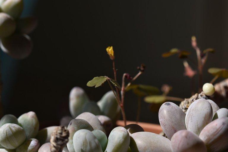 Pachyphytum Oviferum oxalis 6.jpg