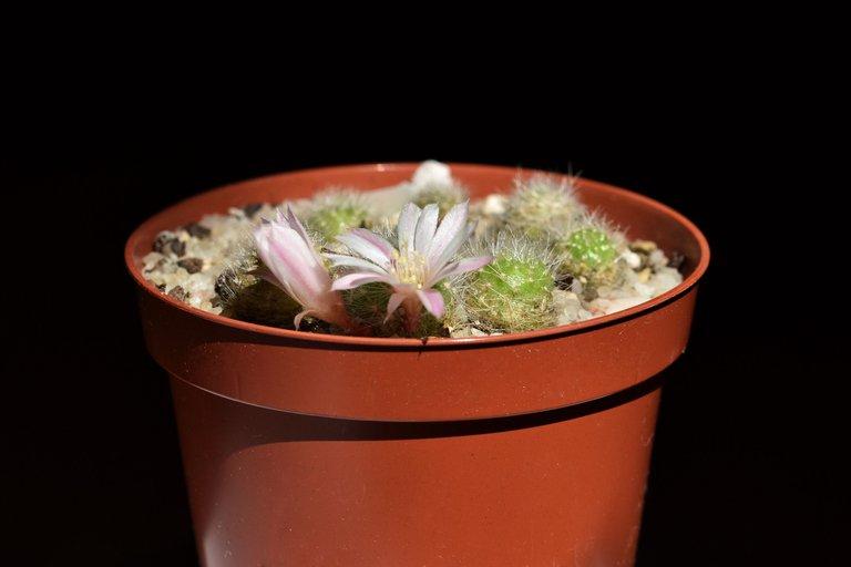 Rebutia Albiflora flower 2021 3.jpg