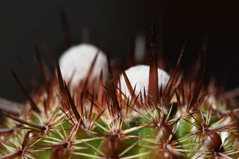 Notocactus mueller-melchersii buds 2021 4.jpg