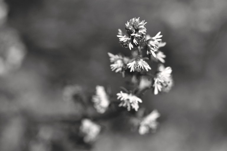 Sesamoides spathulifolia wildflower bw 3.jpg
