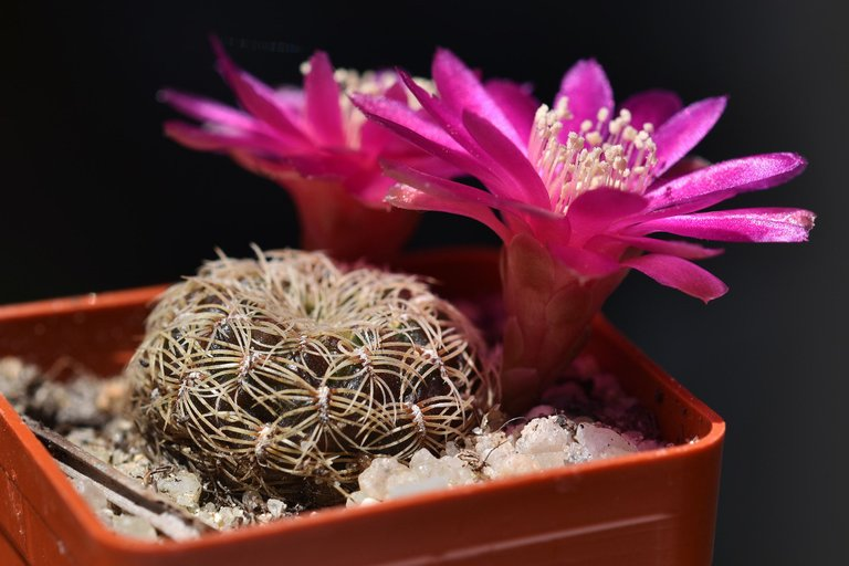 sulcorebutia albissima flower 2021 1.jpg