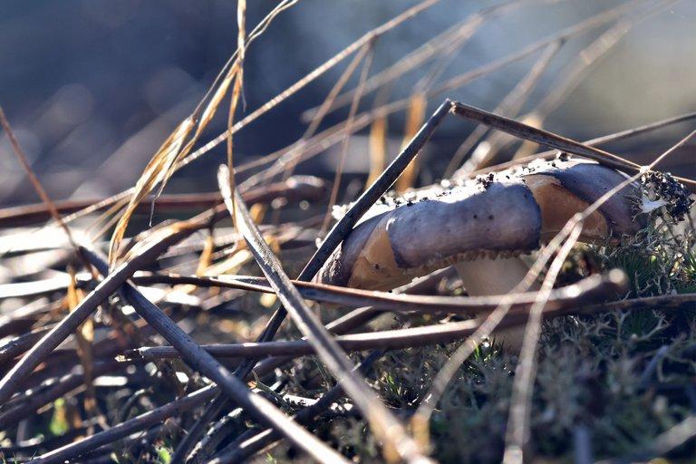 mushrooms pine needles 1.jpg