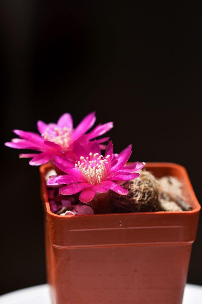 sulcorebutia albissima flower 2021 6.jpg