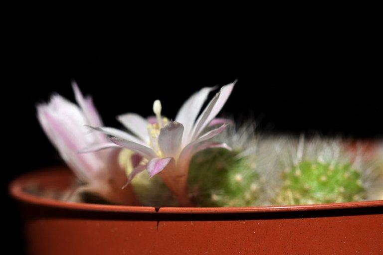 Rebutia Albiflora flower 2021 4.jpg
